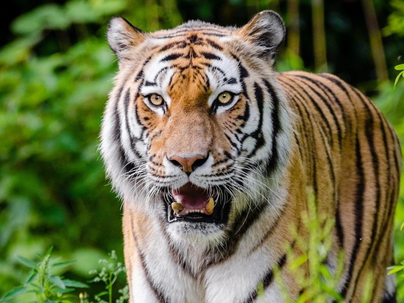 A tiger bears its teeth